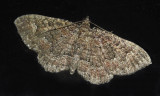 Somber Carpet Moth (7417)