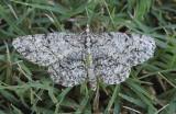 Porcelain Gray Moth (6598)