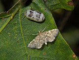 Yellow-spotted Webworm Moth (5176)
