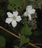 UI White Wildflower