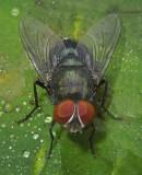 Houseflies, Fleshflies, Blowflies, Dung Flies and Related Flies