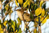 Wrens and Kinglets