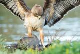 Hawk eating coot