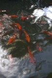 26.  A Koi pond in the gardens.
