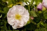 10.  Fragrant Rosa Speciosa.