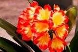 12.  Clivia blooms.