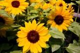 13.  Happy sunflowers.