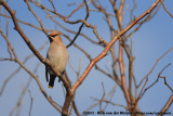 Waxwings  (Pestvogels)