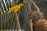 African Golden Weaver  (Goudwever)