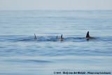 Marine Dolphins  (Dolfijnen)