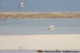 Saunders's Tern  (Saunders' Dwergstern)