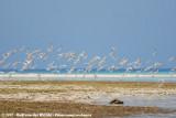 Roseate Tern  (Dougalls Stern)
