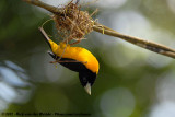 Dark-Backed Weaver  (Woudwever)