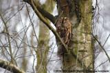 Owls  (Uilen)