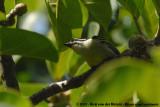 Yellow-Rumped TinkerbirdPogoniulus bilineatus bilineatus