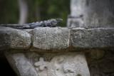 Lizard, Chichen Itza