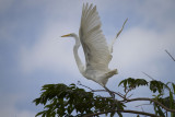 Lift off Egret