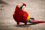 Scarlet Macaw, The national bird of Honduras