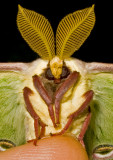 Luna-Moth-2