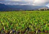 Kauai-Taro-Field