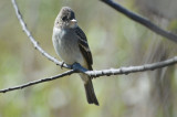 eastern wood pewee plum island