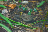 lincoln's sparrow wilmington