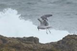 dark mantle gull probably lbbg?