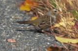 white crown sparrow gambels? western plum island