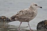 2nd yr herring gull plum island
