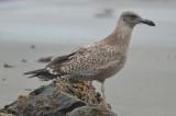 juv/1st yr herring gull  gloucester