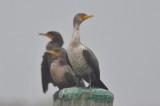 double crested cormorants salisbury
