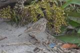 ipswich sparrow sandy point plum island