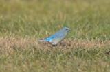 mountain bluebird good harbor gloucester