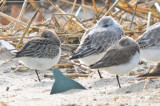 semipalmated sandpiper and unidentified peep in full winter plumage
