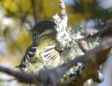 blue-headed vireo forthill eastham