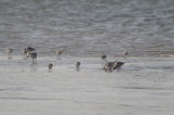 red knots, dunlin sandy point plum island
