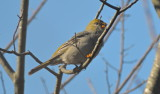Pine Grosbeak plum Island