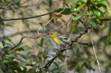 yellow throated vireo Corkscrew Swamp Florida, rare for this time of year