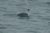 western grebe plum island lot one