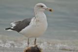 Lesser Black-backed gulln Captiva