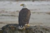 Bald Eagle Fort Meyers Beach Florida