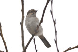 imm northern shrike deer island