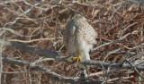 sharp-shined hawk niles pond wilmington