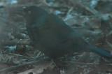 late common grackle wilmington