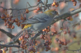 pine grosbeak wilmington
