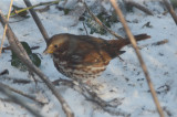 fox sparrow wilmignton