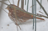 fox sparrow wilmingnton