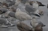 2nd yr glaucous gull wilmington