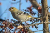 pine grosbeak jonspin rd wilmington