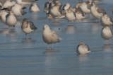 glaucous gull silver lake wilmington